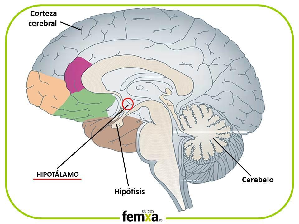 situación del hipotálamo en nuestro cerebro